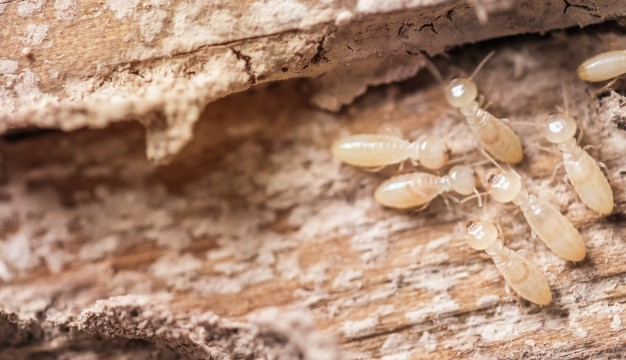 Signs of Termite Pests
