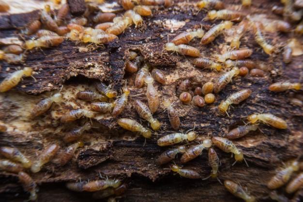 Termite Pests